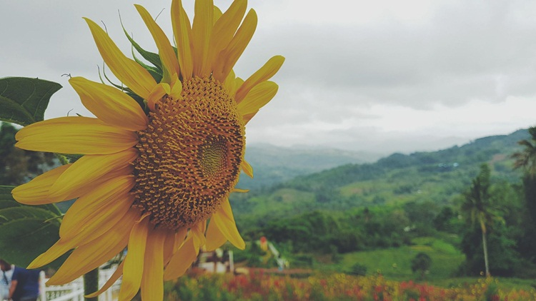 Beautiful sunflowers at Sirao Flower Garden