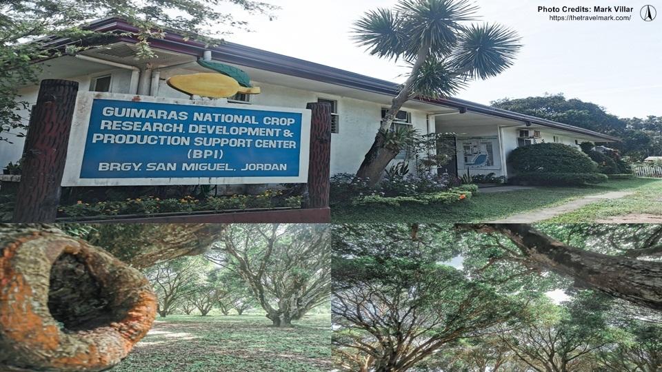 Mango Plantation Guimaras - The Travel Mark